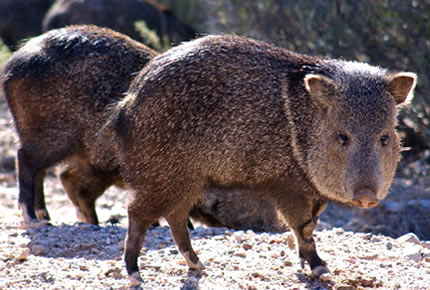 Peccary (Javelina) - Facts, Information & Habitat