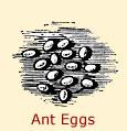 Diagram of ant eggs