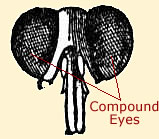 Diagram of an ants eyes