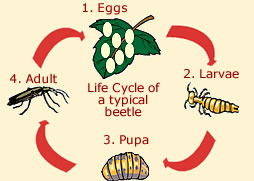 Beetle Life Cycle Common Life Span Of A Beetle