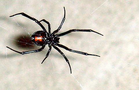 Black Widow Spider Facts Bite Habitat Information