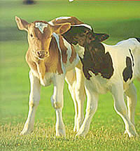 Cows - Information & Facts on Cows,Bulls & Calves