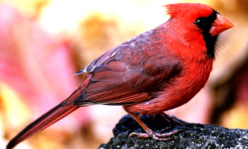 Cardinal Birds Key Facts Information Pictures