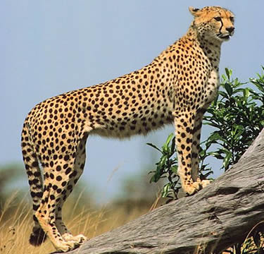 Cheetahs are sometimes confused with Leopards but they can be ... | 375 x 360 jpeg 37kB