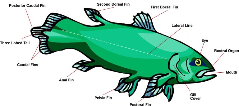Coelacanth Fish Anatomy