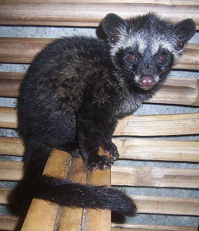 Common Palm Civet Facts Information Pictures