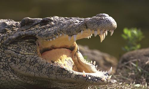 Crocodile - Facts, Diet & Habitat Information