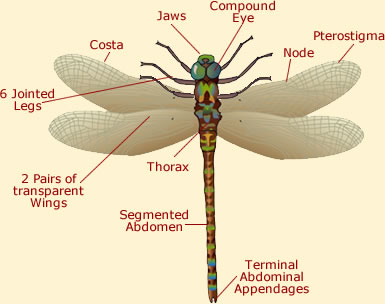 External Anatomy Of A Dragonfly