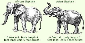 Elephant anatomy facts complete diagram of anatomy for more detailed information on either the african elephant or the asian elephant click on the individual images in the picture below ccuart Image collections