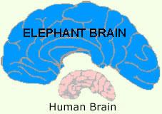 Elephant brain compared to human brain