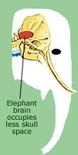 Elephant Brain