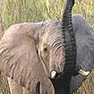 African Elephant Ears