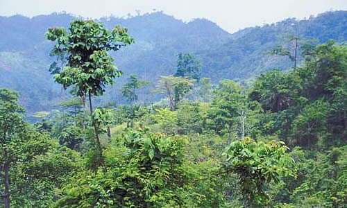 Rainforest Emergents