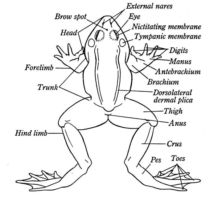 external anatomy of a frog