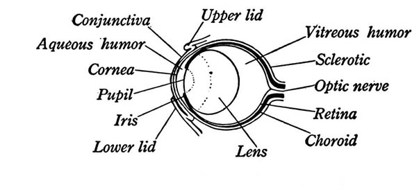 anatomy of a frogs eye  illustration of the eye