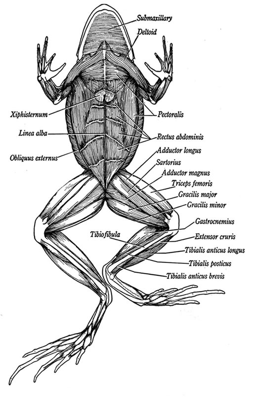 ventral view of muscles in a frog