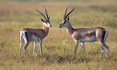 Thomson's Gazelle Description