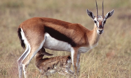 Thomson's Gazelle - Facts, Diet & Habitat Information