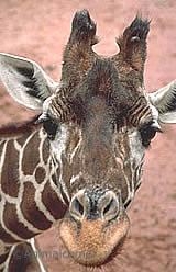 Giraffe horns