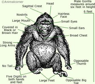 Gorillas Anatomy - Anatomy Of A Gorilla