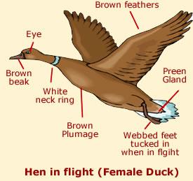Hen Anatomy