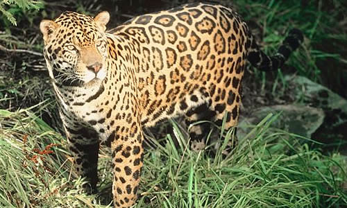 Marvelous The Jaguar Is A Compact And Well Muscled Animal. Rainforest Jaguars Are  Generally Darker And Considerably Smaller Than Those Found In Open Areas,  ...