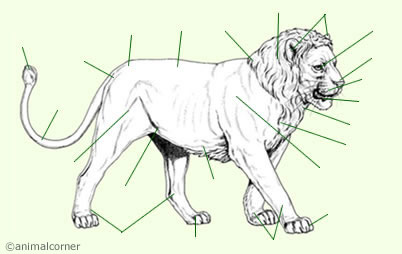 Lion Anatomy Big Cat Lion Lioness Anatomy Lion clipart lion head clip art transparent cartoon, isolated outline of a lion face stock vector illustration, lion template animal templates free premium templates, the head of the lion sideways black outline. lion anatomy big cat lion lioness