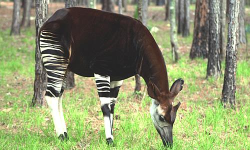 Okapi Animal Key Facts Information Habitat