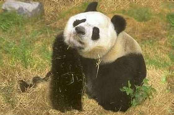 panda bear information