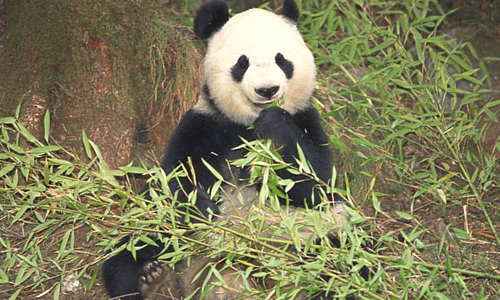 Giant Panda Bear Facts History Information And Habitat