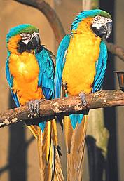 blue yellow macaw parrott facts information habitat