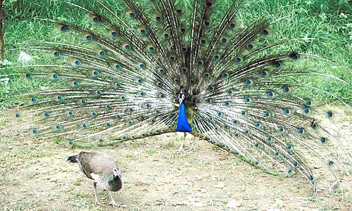 Peafowl Peacock Facts Information Habitat