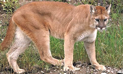 6bd7ff8dcba1 The Puma is the fourth heaviest of the New World cats after the lion