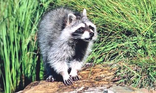 racoon fact diet habitat information