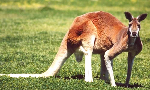 Red Kangaroo Facts Diet Habitat Information