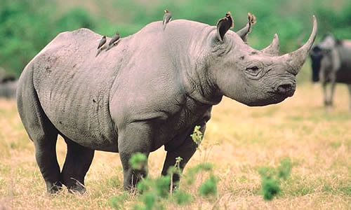 Black Rhinoceros - Facts, Diet & Habitat Information