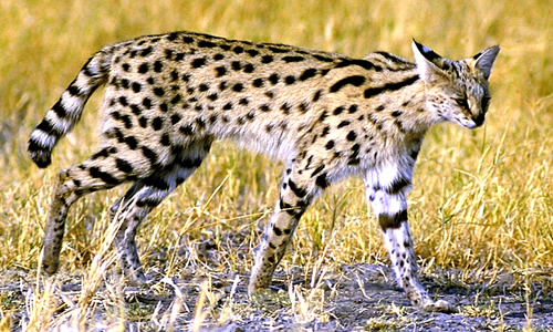 Serval Cat - Facts, Diet & Habitat Information