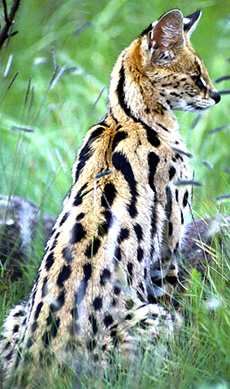 Serval Cat - Facts, Diet & Habitat Information