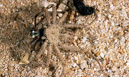 Six Eyed Sand Spider