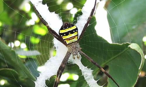 St Andrew S Cross Spider Facts Bite Habitat Information