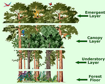 Rainforest Canopy Layers Facts Information Pictures