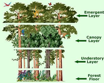 Rainforest Strata