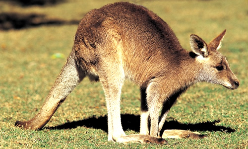 Wallaby Facts Diet Habitat Information