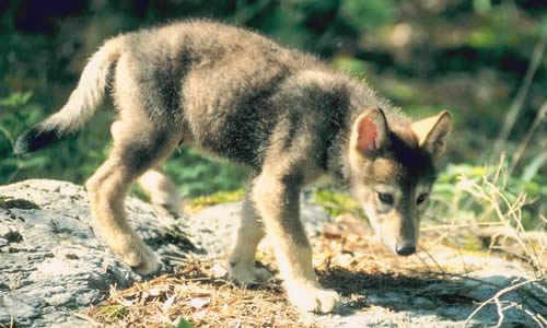 Wolves Facts Diet Habitat Information