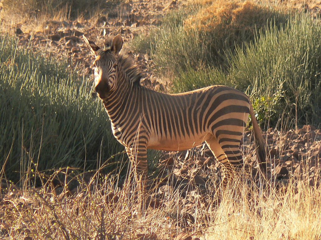 facts and information about zebras Learn more about the zebra at the animal facts here you can discover their diet, lifespan, habitat, breeding, behaviour and appearance.