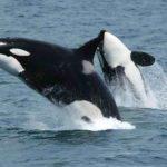 Orca/Killer Whale