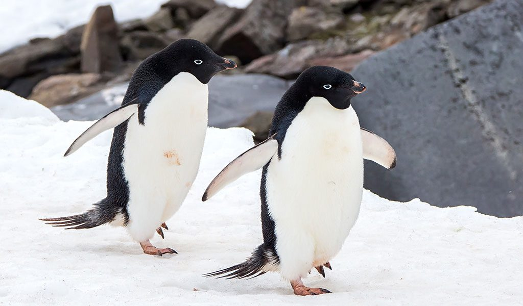 Images of adelie penguins - photo#21