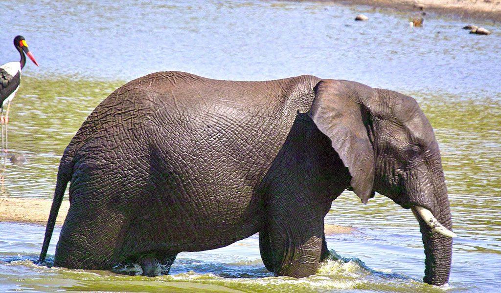 weight of an asian elephant