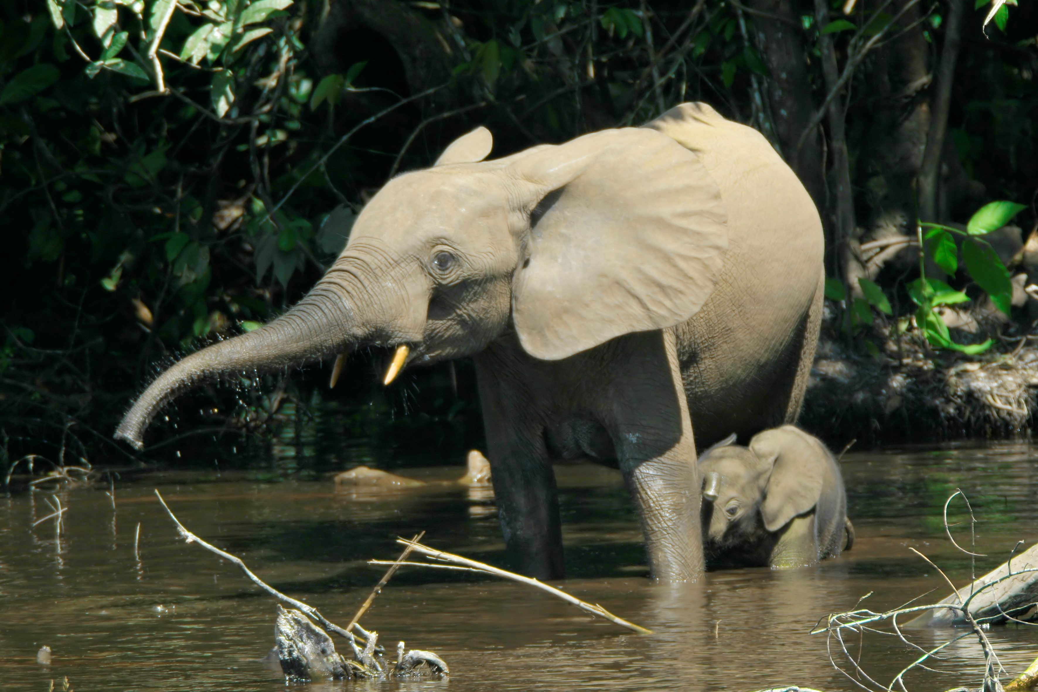 African Forest Elephant - Facts, Diet & Habitat Information