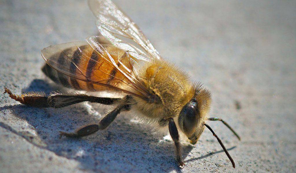 africanised-bee
